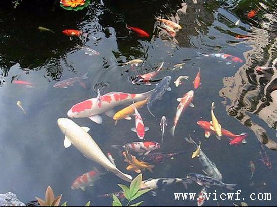 qq西游鲤鱼在哪里有_这群鲤鱼是 在哪里 的呢